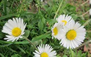 Свойства, описание и фото цветов ромашки