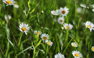 Свойства и противопоказания травы ромашка