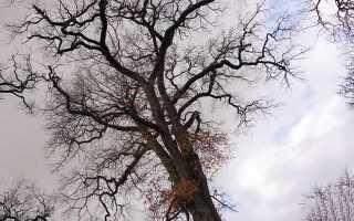 Срок жизни дерева дуб
