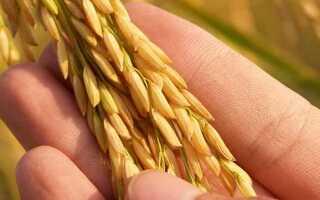 Витамины и минералы в рисе