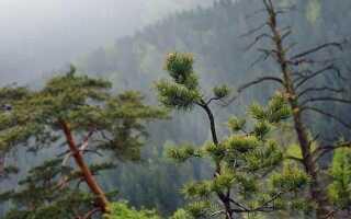 Хвойное или лиственное дерево — сосна
