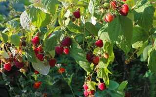 Избавляемся от малины на садовом участке