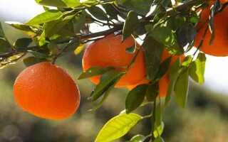 Можно ли беременным мандарины