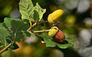 Фото и картинки листьев дуба