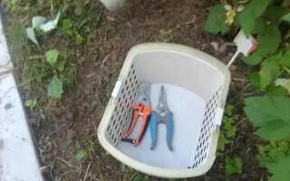 Надо ли срезать ремонтантную малину