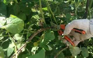 Когда нужно обрезать малину весной или осенью