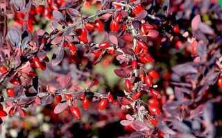 Описание роста и цветения барбариса