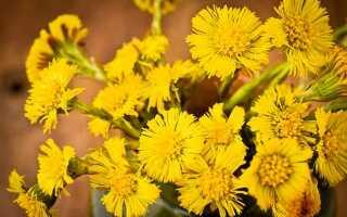 Лечебные свойства травы Мать и мачеха