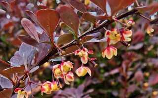 Барбарис с красными листьями