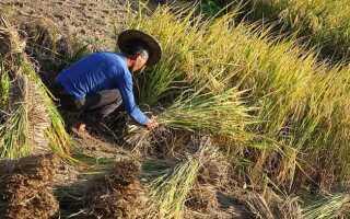 Чем полезен рис для организма человека