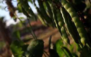 Описание роста фасоли