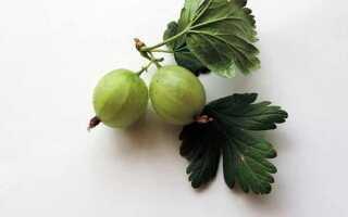 Лечебные свойства листьев крыжовника
