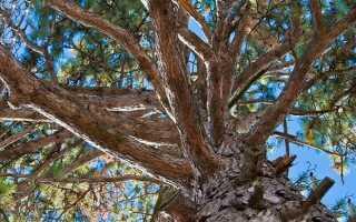 Отличие елки от сосны