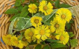 Фото и описание растения мать и мачеха