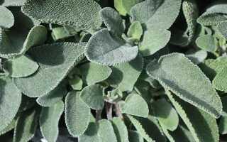Аннотация к применению листьев шалфея