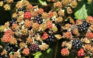 5 золотых правил посадки и ухода ежевики садовой