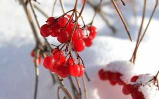 Польза ягоды калины