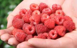Все о плодах малины