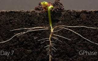 Проращивания фасоли в домашних условиях