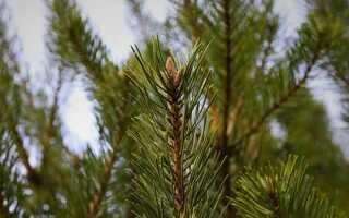 Разница между елью и елкой