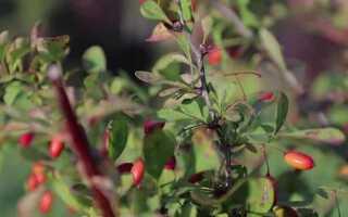 Полезные свойства барбариса