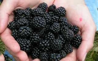 Отличие черной малины и ежевики
