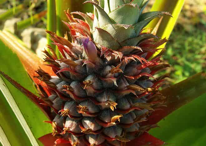 ananasovyj-nektar