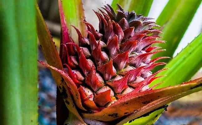 cvetet-ananas