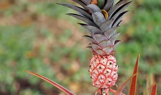 ot-upotrebleniya-ananasov