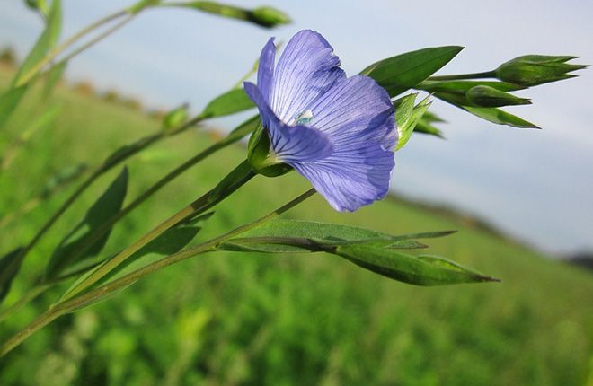 sinie-cvety
