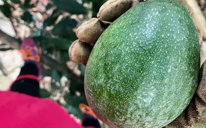 ehkzoticheskogo-ploda