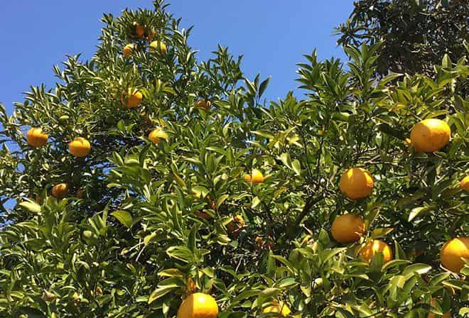 vyrashchivaniem-citrusovyh