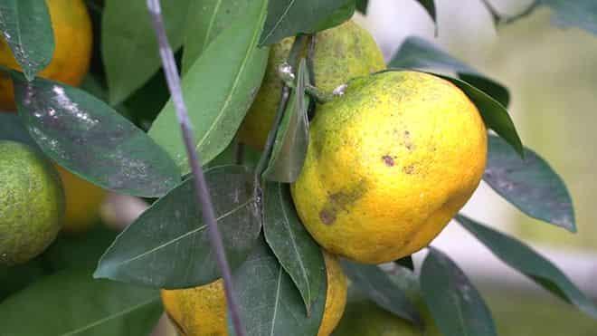 citrus-opryskivayut