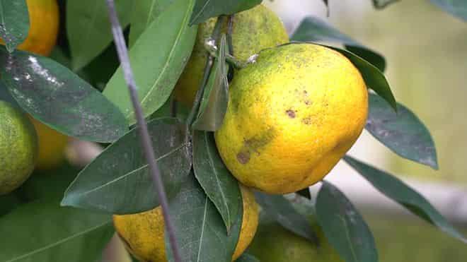 ispolzovat-mandariny