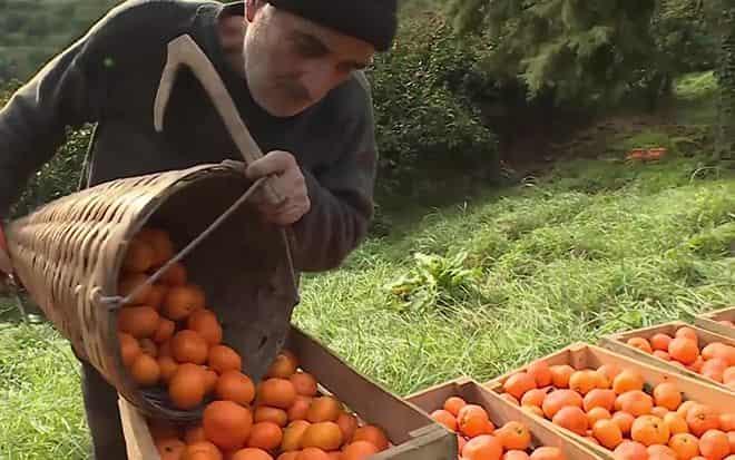 mandarinovye-plantacii