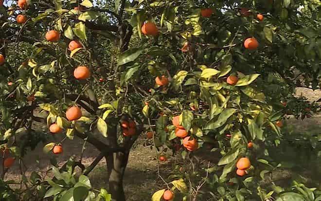 perenosimosti-mandarinov