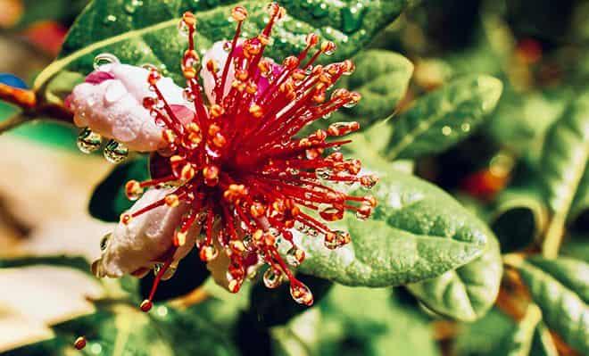 cvetki-fejhoa