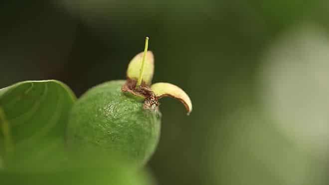 plodov-fejhoa