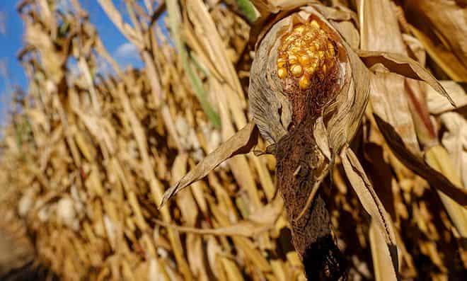 posevov-kukuruzy