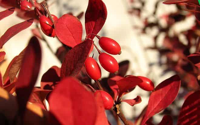 purpurnogo-cveta