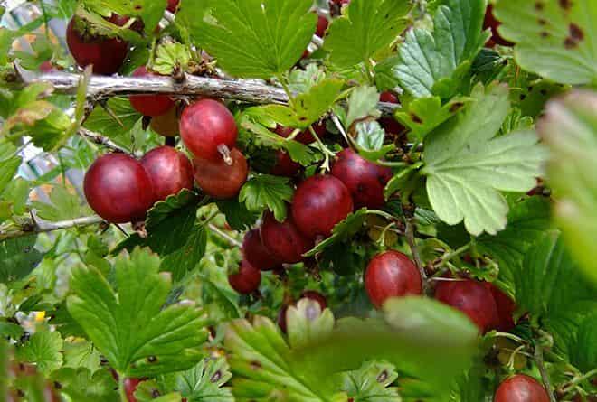 razmeru-plodov