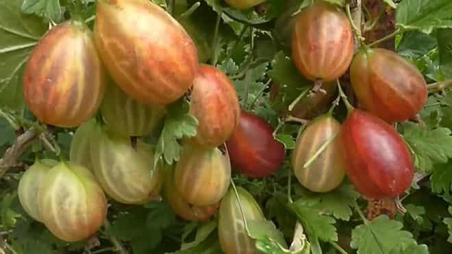 sok-plodov